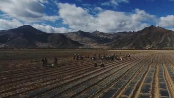 西藏:林周县药材种植项目正式开工