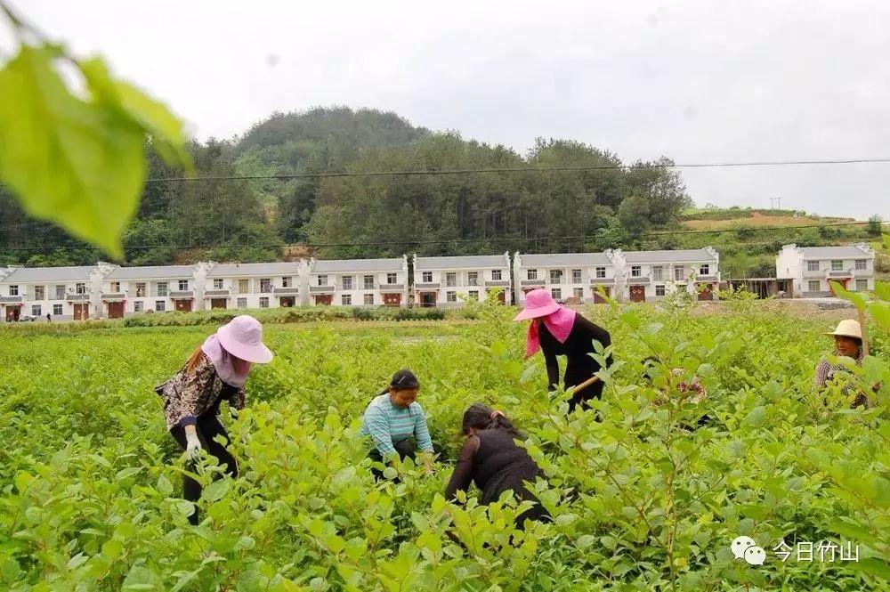 宜昌夷陵区:中药材种植忙 致富路上药飘香