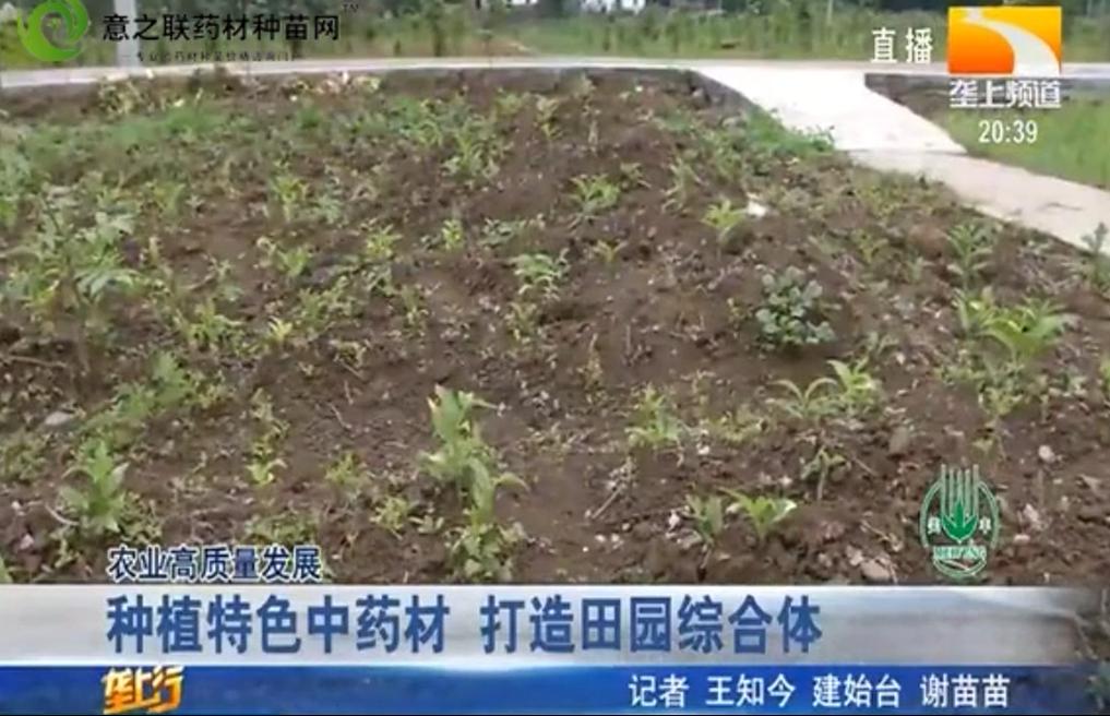 种植特色中药材 打造田园综合体