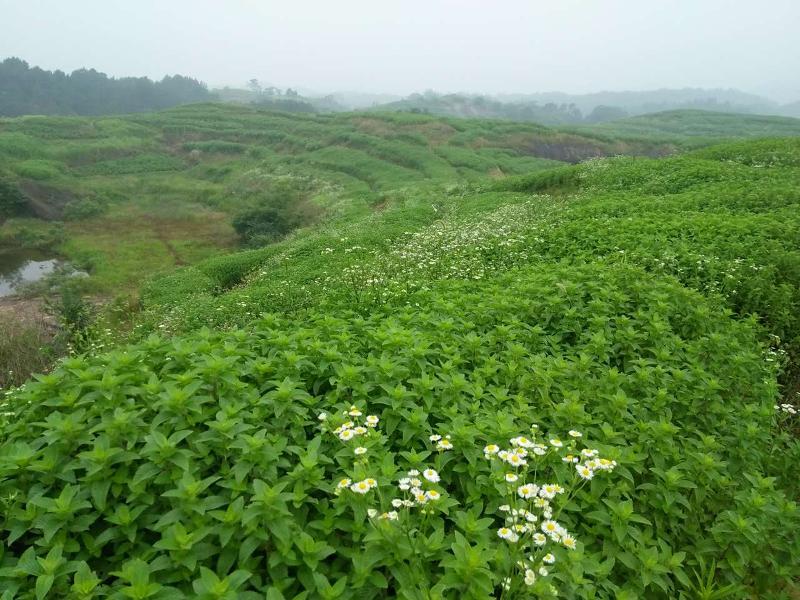 中药材薄荷、鱼腥草种植带动农民增收脱贫